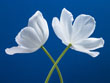 White Tulips on Blue