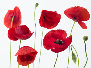 Red Poppies On White Blinds Creatively Different