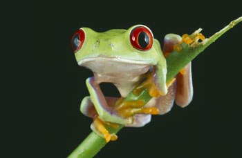 Red-eyed Tree Frog perched on Twig