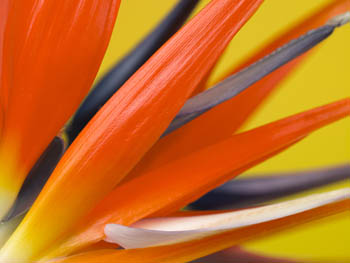 Orange Strelitizia Flower - close up