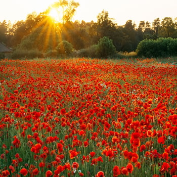 Sunset over poppy and oxeye meadow, Oxfordshire